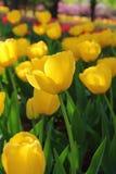 Tulipes colorées en ressort de jardin Images stock