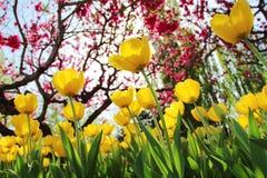 Tulipes colorées en ressort de jardin Image libre de droits