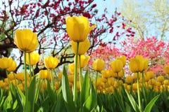Tulipes colorées en ressort de jardin Images libres de droits
