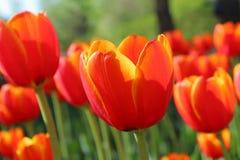 Tulipes colorées en ressort de jardin Photos stock