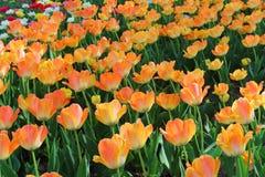 Tulipes colorées en ressort de jardin Photographie stock libre de droits