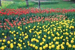 Tulipes colorées en ressort de jardin Photos libres de droits