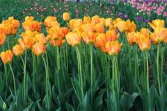 Tulipes colorées en ressort de jardin Photographie stock