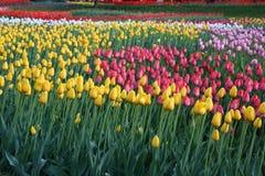 Tulipes colorées en ressort de jardin Photo stock