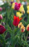Tulipes colorées fraîches à la lumière du soleil chaude Photographie stock libre de droits