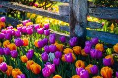 Tulipes colorées le long d'une vieille barrière photographie stock libre de droits