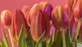 Tulipes colorées par ressort Photographie stock
