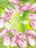 Tulipes colorées par rose ENV 10 Photo libre de droits