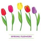 Tulipes colorées par vecteur Juste plu en fonction Photos stock