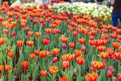 Tulipes colorées plantées dans les décorations de jardin Images libres de droits