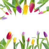 Tulipes colorées sur le fond blanc Photo stock
