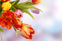 Tulipes colorées sur le fond violet bleu Images libres de droits
