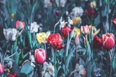 Tulipes colorées sur un champ dans le printemps photo stock