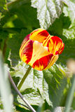Tulipes colorées un beau ressort dans un lit de fleur Images stock