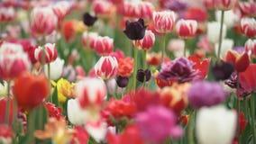 Tulipes color?es ? la gamme ?troite banque de vidéos
