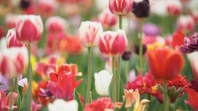 Tulipes color?es ? la gamme ?troite clips vidéos