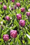 Tulipes contre éclairées Photos stock