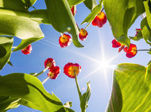 Tulipes contre le ciel Image libre de droits