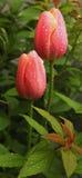 Tulipes couvertes en rosée de matin Photographie stock