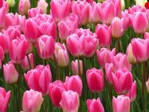 Tulipes d'Acropole de flamber Purissima Belle image de rose et blanche de tulipes de fleurs Beaucoup de tulipes fleurissant dans  photographie stock libre de droits