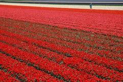 Tulipes d'Amsterdam? Photographie stock libre de droits