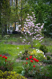 Tulipes d'arbre de magnolia, rouges et blanches de floraison Photo stock