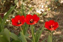 Tulipes d'arbres Photographie stock libre de droits