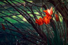 Tulipes d'imagination Photographie stock
