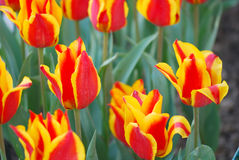 Tulipes d'incendie Photographie stock libre de droits