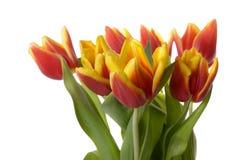 Tulipes d'isolement Images libres de droits