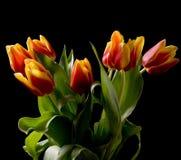 Tulipes d'isolement Photographie stock libre de droits