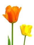 Tulipes d'isolement sur le blanc Images stock