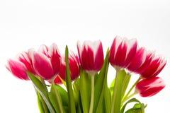 Tulipes d'isolement sur le blanc Images libres de droits