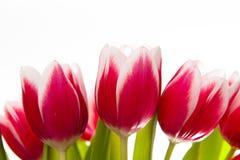 Tulipes d'isolement sur le blanc Image stock