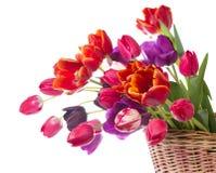 Tulipes, d'isolement sur le blanc Photographie stock libre de droits