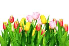Tulipes d'isolement sur le blanc photos libres de droits