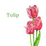 Tulipes d'isolement sur un fond blanc Images libres de droits