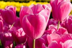 Tulipes d'Istanbul Image stock