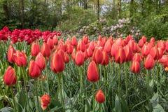 Tulipes d'orange de Flamming image libre de droits