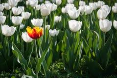 Tulipes d'orange de port de fleur de Pékin Shunyi Images stock