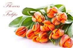 Tulipes d'orange rougeâtre images libres de droits