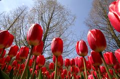 Tulipes d'un rouge de champ Images stock