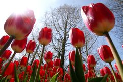 Tulipes d'un rouge de champ Images libres de droits