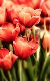 Tulipes dans des couleurs en pastel Image stock