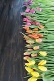 Tulipes dans des couleurs lumineuses Photos libres de droits