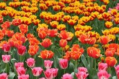 Tulipes dans des couleurs vives Images libres de droits