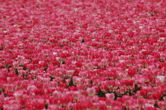 Tulipes dans Keukenhof Photo libre de droits