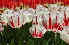Tulipes dans Keukenhof Photos libres de droits