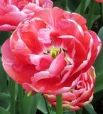 Tulipes dans Keukenhof Photographie stock libre de droits