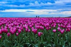 tulipes dans la fleur Photos libres de droits